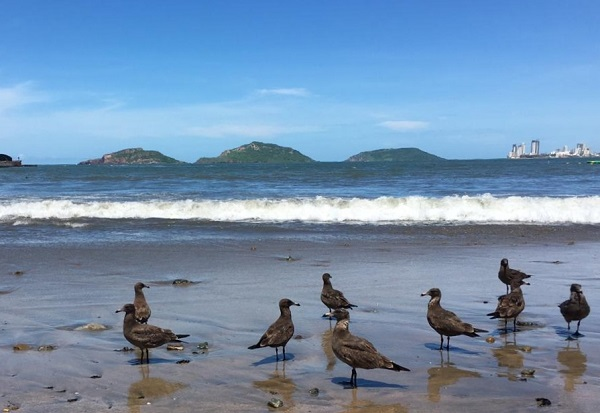 Las tres islas de Mazatlán son refugio de aves migratorias.