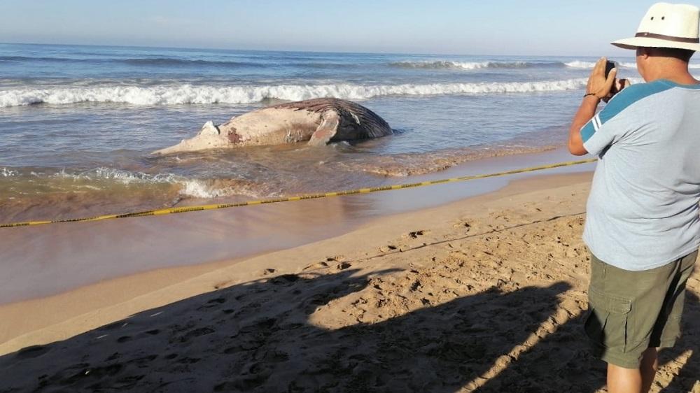 ballena playa cerritos