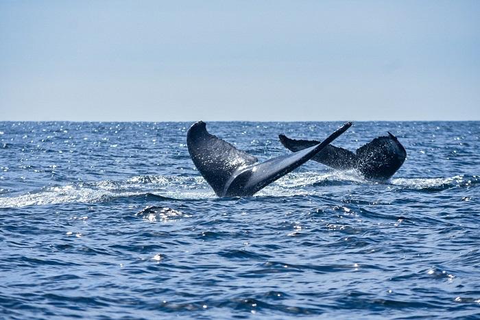 ballenas jorobadas Mazatlán