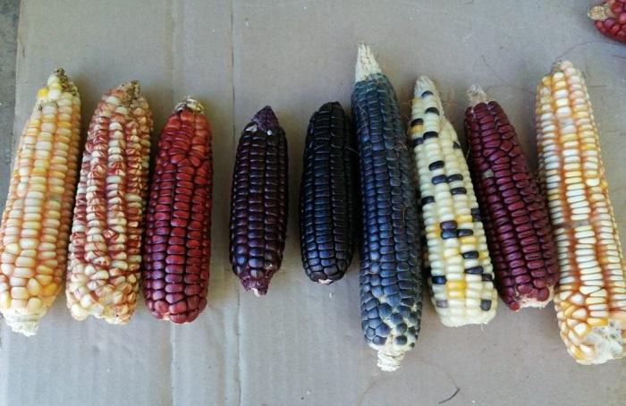 maíces nativos de Sinaloa