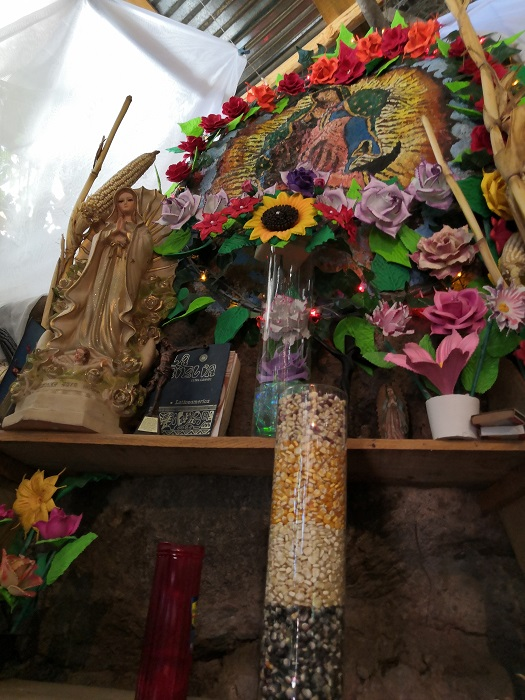 Maíz criollo Sinaloa