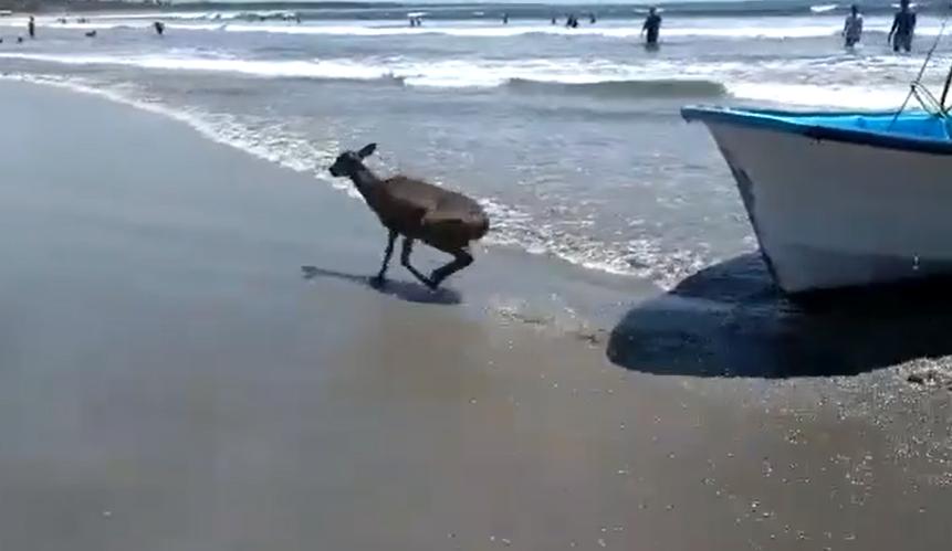 rescatan venado del mar